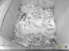 20140424-Chicks4 (Cornell Lab of Ornithology) Tags: wild bird birds lab nest box cam cams owl chicks cornell unlimited ornithology barred