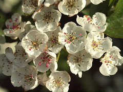 Hawthorn blossom (Nick_Fisher) Tags: flower nature blossom seed fertility hawthorn fertile fecund fecundity nickfisher