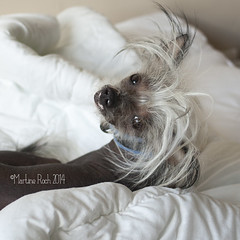 Iggy - my Chinese crested dog (Martine Roch) Tags: dog puppy iggy chinese crested nakeddog chinesecresteddog martineroch