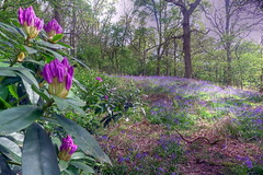 bluebell woods (valeriadalua) Tags: uk flowers trees england leaves bluebells countryside early spring woods surrey rhododendron april