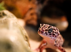 Lea (Christopher Marko) Tags: pet eye reptile lea gecko tier leopardgecko