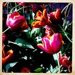 Tulpen thumbnail