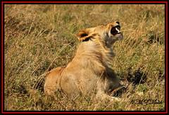 YOUNG LION CUB (Panthera leo)....MASAI MARA.....OCT 2013 (M Z Malik) Tags: africa nikon leo kenya wildlife safari masaimara keekoroklodge d3x nikonflickraward flickrbigcats exoticafricancats exoticafricanwildlife 200400mm14afs