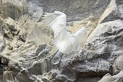 Snowy Egret Landing On the Rock( ) (Johnnie Shene Photography(Thanks, 1Million+ Views)) Tags: park wild white colour macro bird nature birds animal animals rock horizontal canon lens outdoors photography eos rebel zoo living wings kiss image zoom outdoor snowy wildlife touch birding wing sigma down images apo landing seoul childrens flapping 70300mm touchdown egret flap dg egrets 456 t3i x5 70300 organism zoological fragility 600d f456