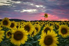 Standout Student (Darren Berg) Tags: sunset explore sunflower explored