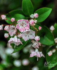 Kalmia Blooms, Hitchcock Woods, Aiken, SC 5/2/14 (APGougePhotography) Tags: mountain flower detail sc woods nikon south clarity carolina hitchcock laurel aiken topaz d600 kalmia denoise topazlabs