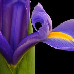 Curvy Girl (njk1951) Tags: iris flower macro petals purple curves squareformat onblack springflower purpleiris springiris curvypetals