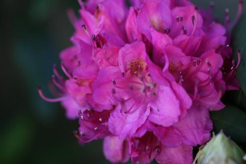 Rosa Blume