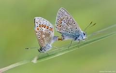 ~Polyommatus icarus ( and )~ (Eddie The Bugman) Tags: light summer macro beauty butterfly lepidoptera dreams mating seduction courting commonblue polyommatusicarus lycaenidae chattingup polyommatini tamronspaf180mmf35dildifmacro canon5dmkii canon430exii wilfordclaypit edwardnurcombe eddiethebugman