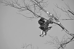 Hawk flight (ramkumar999) Tags: red nikon hawk nikkor ai tailed f35 400mm d600
