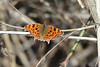 Comma Butterfly, Derek Dewey-Leader