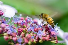 Bee 1 (Fab Boone Photo) Tags: nature macro bug fabienboone fabboone