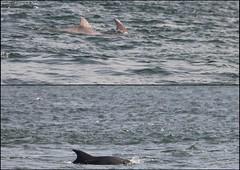 Estuary dolphins (catb -) Tags: ireland clare dolphin estuary shannon bottlenose dolphinwatch