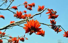 রক্তমন্দার (Raktamandar ) Botanical name :Erythrina stricta (Sougata2013) Tags: red wild india mountain flower tree nature march spring nikon hill mandi himachal himachalpradesh nikond3200 erythrinastricta raktamandar corkycoraltree রক্তমন্দার kamandvillage