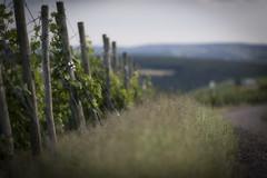 Vineyard (mexou) Tags: luxembourg wormeldange 135mmf2 koeppchen moselmuselmoselle