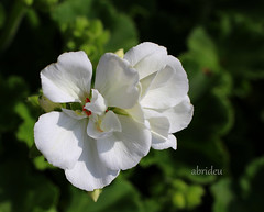 White Geranium (abrideu away on Holiday) Tags: white flower macro ngc npc geranium abrideu canoneos100d