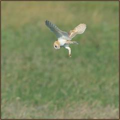 Barn Owl (image 2 of 4) (Full Moon Images) Tags: bird nature barn wildlife bcn hunting reserve national owl trust prey fen cambridgeshire barnowl birdofprey woodwalton nnr greatfen greatfenproject