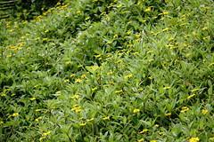 (ddsnet) Tags: plant flower sony hsinchu taiwan cybershot       sinpu hsinpu rx10
