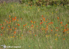 Indian paintbrush (orange) with Balsam ragwort (yellow)