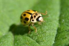 Propylea quatuordecimpunctata (Hachimaki123) Tags: animal insect ladybug insecto mariquita coleoptero coleopter coleptero propyleaquatuordecimpunctata coleopteran