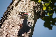 Pileated Woodpecker feedings its young