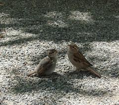 Spatzen (RS_1978) Tags: bird birds animals tiere wildlife aves uccelli animaux vögel vogel oiseaux fågel vertebrates vertebrata wildtiere wirbeltiere fujifilmxf1 craniota schädeltiere