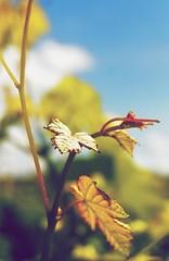 vine leaves (montillon.a) Tags: leaves vineyard vine weinberg weinbltter
