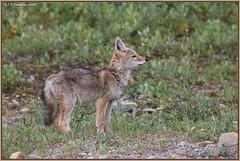 BabyCoyote_6D_5947 (CrzyCnuk) Tags: coyote canada calgary canon wildlife alberta coyotepup canon6d
