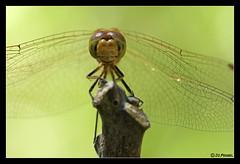 Orthetrum coerulescens (jo.pensel) Tags: macro nature bug insect dragonfly insecte libellule vende odonata odonate macrophotographie orthetrumcoerulescens biodiversit enthomologie invertbr proxyphotographie jopensel orthtrumbleuissant jocelynpensel jocelynpenselphotographe jopenselcom wwwjopenselcom