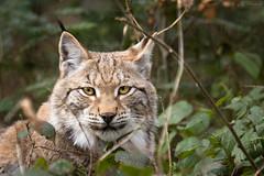 Lynx head (Cloudtail the Snow Leopard) Tags: wildpark pforzheim tier animal mammal säugetier katze cat feline luchs lynx cloudtailthesnowleopard