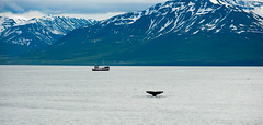 The boat, the fjord and the whale (Federico Farina) Tags: summer holiday nature june landscape iceland europe whale fjord whales humpback luglio 2014 islanda