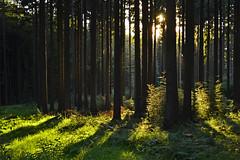 _DSC2507 ein sehr schöner Sommerabend im Wald - a very nice summer evening in the forest (baerli08ww) Tags: light summer sun tree green colors forest germany landscape deutschland evening abend licht nikon eveningsun sommer natur grün landschaft sonne wald baum farben rheinlandpfalz abendsonne westerwald rhinelandpalatinate coth5 westerforest
