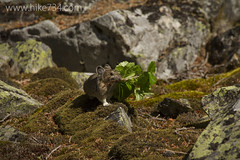 "American Pika • <a style=""font-size:0.8em;"" href=""http://www.flickr.com/photos/63501323@N07/14586444586/"" target=""_blank"">View on Flickr</a>"