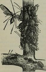 Anglų lietuvių žodynas. Žodis woolly plant louse reiškia gauruotas augalų utėlė lietuviškai.