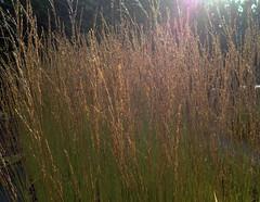 Molinia caerulea subsp. caerulea 'Heidebraut'