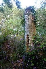 Breton Countryside (ZdArock) Tags: france tree field butterfly countryside cow brittany heather bretagne papillon campagne arbre morbihan champ vache breton bruyre grandchamp zdarock