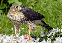 Sparrow Hawk (toothandclaw1) Tags: infocus highquality