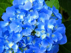 Blue Macro Flowers