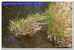 reeds along a river of clear water (Jose Angel Astor) Tags: life park autumn summer sky brown lake plant flower color green texture reed nature water floral grass closeup rural river season flora natural blossom outdoor country great seasonal gray scenic rush swamp cooper marsh common herb marshland perennial cattail wetland blooming bulrush broadleaf typha latifolia herbaceous swampland cumbungi