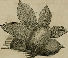 Anglų lietuvių žodynas. Žodis anchovy pear tree reiškia ančiuvių kriaušė lietuviškai.