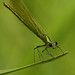 03 Emerald Damselfly_James Bennett
