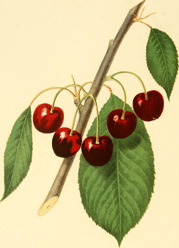 "Image from page 131 of ""The fruits of America : containing richly colored figures, and full description of all the choicest varieties cultivated in the United States"" (1848)"
