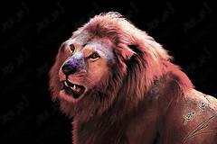 Lion the king الأسد الملك (محمد بوحمد بومهدي) Tags: animal animals zoo nikon king lion jungle حيوانات d600 حيوان أسود حديقة نيكون أسد ملك بوحمد buhamad الغابة