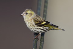 Siskin (cooky1959) Tags: siskin ceredigion visitorscentre feeders nantyrarian wales