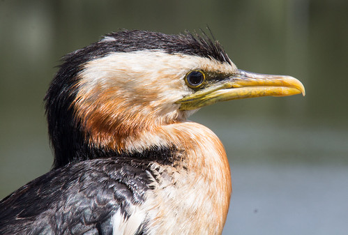 Little pied cormorant