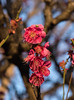Prunus Mume Plum Blossoms (aeschylus18917) Tags: danielruyle aeschylus18917 danruyle druyle ダニエルルール japan 日本 nature blossoms plum 105mm winter prune tree flowers 花 ウメ roseaceae prunusmume pxt