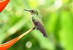 Scaly-breasted Hummingbird (ott.geoffrey) Tags: scalybreasted hummingbird bird birding tiny small little cute flower perched sarapiqui costarica centralamerica latinamerica wildlife animal