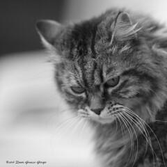 _MG_4579 Molly (Dante Guazzo Giorgio) Tags: animali felini gatti
