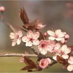 Spring Blossoms thumbnail