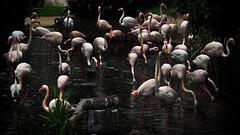 Gathering (cyangLtravel) Tags: phoeniconaias minor phoenicopterus ruber roseus park nature natural bird habitat lakes waters urban